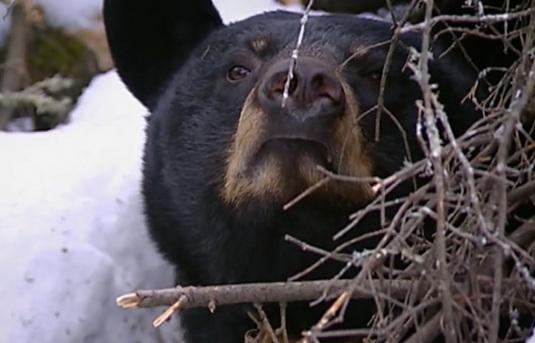 I mládě medvěda baribala se musí spoléhat na bezpečí úkrytu