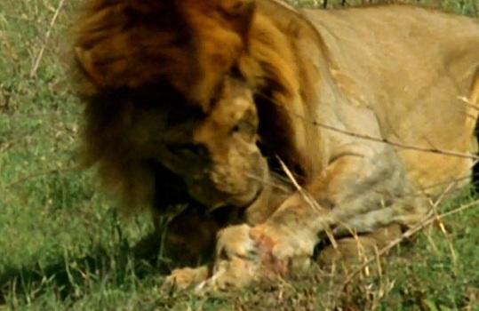 Lvíče zaplatilo životem za porážku otce, aby se lvice mohla pářit se silnějším