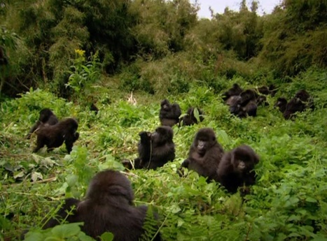 S větší šancí v tlupě goril