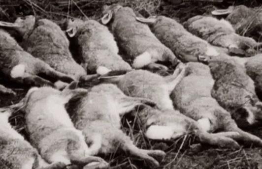 Se spoustou obětí mezi všemi králíky, kteří odvykli nebezpečí v chráněné zóně