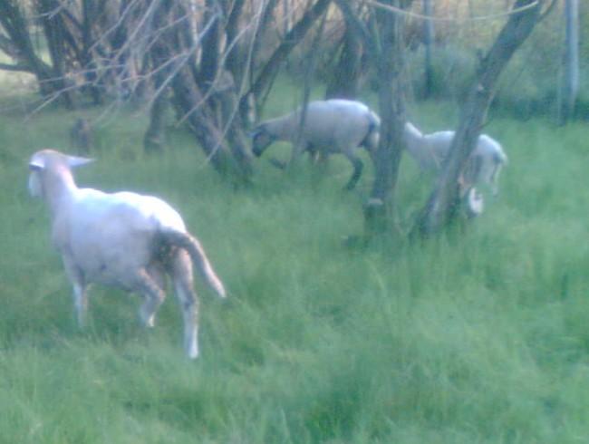 Nový beran držel partu s ovečkou a jehnětem, které majitel získal výměnou za kůzle.
