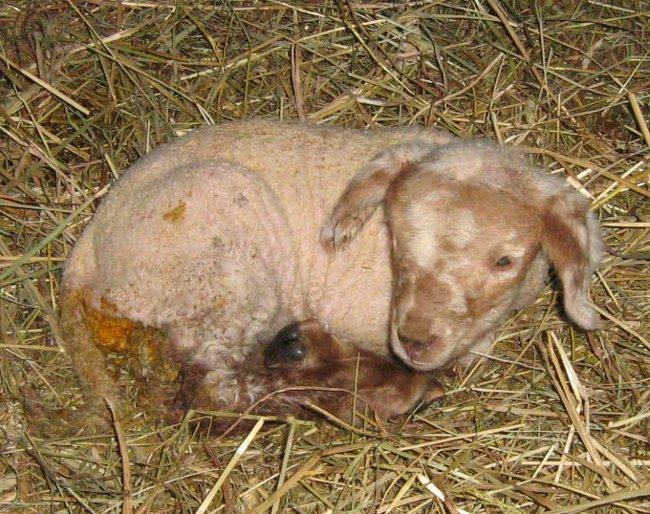 ...přibyla další ovečka přeživší navzdory smrti sourozence